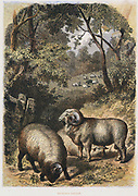 Merino sheep: variety noted for its wool. Much favoured in Australia Hand-tinted engraving published London c1860. Engraving.