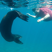 Galapagos Sea Lion (Zalophus californianus) swiming with man. Galapagos Islands, Ecuador