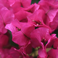 """""""I Feel the Love Too""""<br /> <br /> Gorgeous Paper Bougainvillea in hot pink!!"""