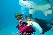 diver and southern stingrays, <br /> Dasyatis americana, at Stingray City,<br /> Grand Cayman Island ( Caribbean Sea )   MR 159