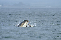 Sequence of female Bottle-nosed Dolphin with calf breaching,<br /> Tursiops truncatus,<br /> Moray Firth, Nr Inverness, Scotland - May