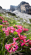 Alpenrose (Rhododendron ferrugineum) flowers bloom in Brenta Dolomites, Italy, Europe. From the ski resort of Madonna di Campiglio in the Trentino-Alto Adige/Südtirol region of Italy, the Passo Groste lift takes you directly into the Brenta Dolomites to enjoy scenic mountain hiking trails. UNESCO honored the Dolomites as a natural World Heritage Site in 2009. This panorama was stitched from 8 overlapping photos.