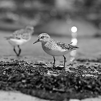 Each year hundreds of thousands of shorebirds arrive in the Delaware Bay to feed on the eggs of spawning horseshoe crabs.  This semipalmated sandpiper (Calidris pusilla) was part of a flock of sandpipers feeding on eggs at the Logan Tract of the Ted Harvey Conservation Area, Kitts Hummock, Delaware. A spawning crab is visible in the background. Black and white image.