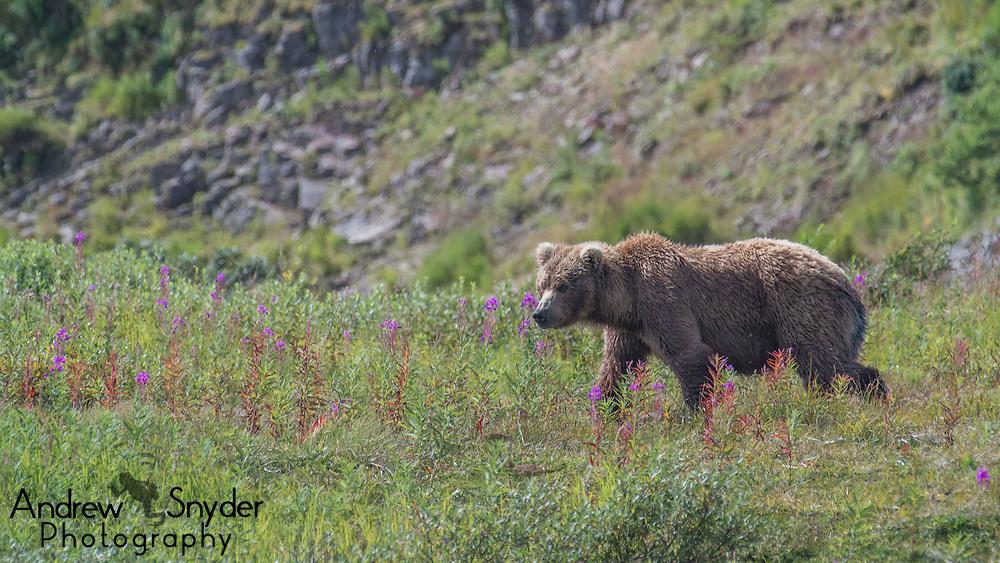 A sow walks among a field of fireweed - Katmai, Alaska