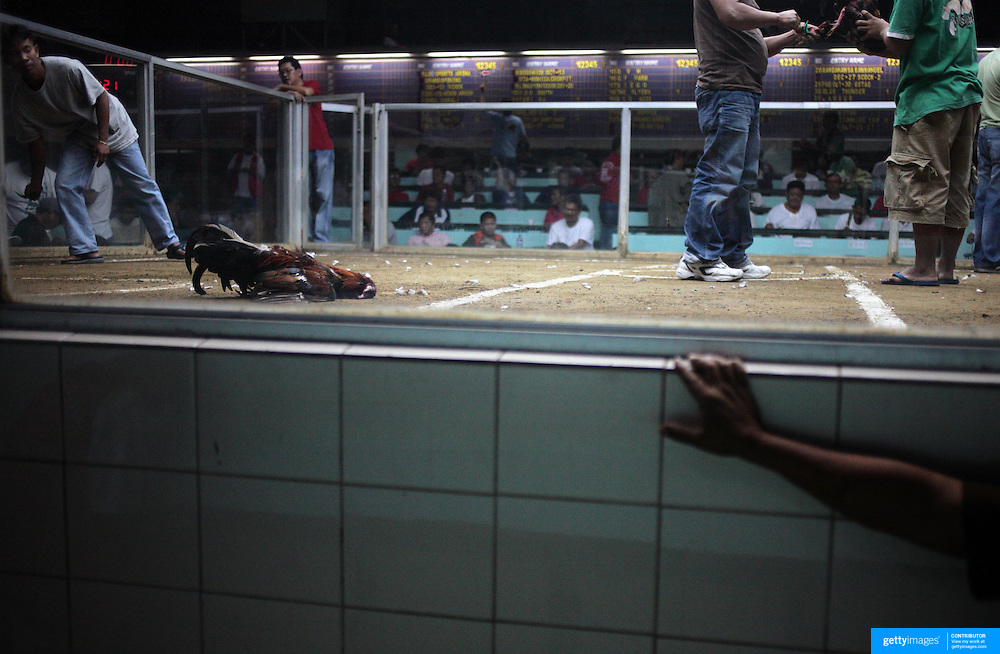 THE PHILIPPINES (Manila). 2009. The owner of a dead game cock (left) sheepishly checks on the well being of his bird after it was killed by it's competitor during a fight to the death between two game cocks, each with three inch razor sharp blades fastened to their left ankles, at the Pasay Cockpit Arena, Pasay City, Manila. Photo Tim Clayton <br /> <br /> Cockfighting, or Sabong as it is know in the Philippines is big business, a multi billion dollar industry, overshadowing Basketball as the number one sport in the country. It is estimated over 5 million Roosters will fight in the smalltime pits and full-blown arenas in a calendar year. TV stations are devoted to the sport where fights can be seen every night of the week while The Philippine economy benefits by more than $1 billion a year from breeding farms employment, selling feed and drugs and of course betting on the fights...As one of the worlds oldest spectator sports dating back 6000 years in Persia (now Iran) and first mentioned in fourth century Greek Texts. It is still practiced in many countries today, particularly in south and Central America and parts of Asia. Cockfighting is now illegal in the USA after Louisiana becoming the final state to outlaw cockfighting in August this year. This has led to an influx of American breeders into the Philippines with these breeders supplying most of the best fighting cocks, with prices for quality blood lines selling from PHP 8000 pesos (US $160) to as high as PHP 120,000 Pesos (US $2400)..