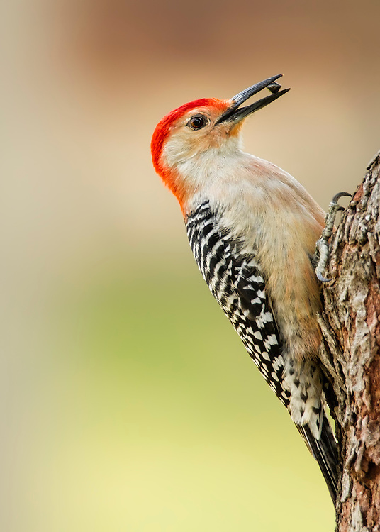 A Woodpecker Eating Sunflower Seeds