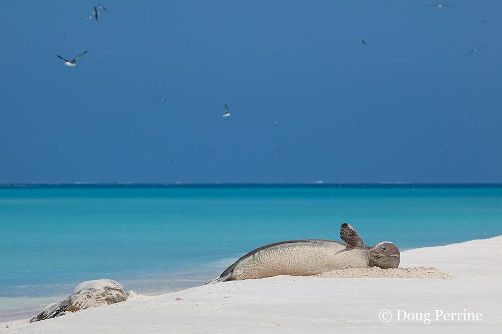 Hawaiian monk seals, Monachus schauinslandi, Critically Endangered endemic species, Sand Island, Midway, Atoll, Midway Atoll National Wildlife Refuge, Papahanaumokuakea Marine National Monument, Northwest Hawaiian Islands ( Central North Pacific Ocean )