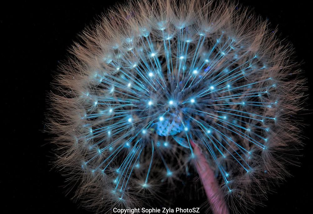 Common Dandelion UV CLoseup
