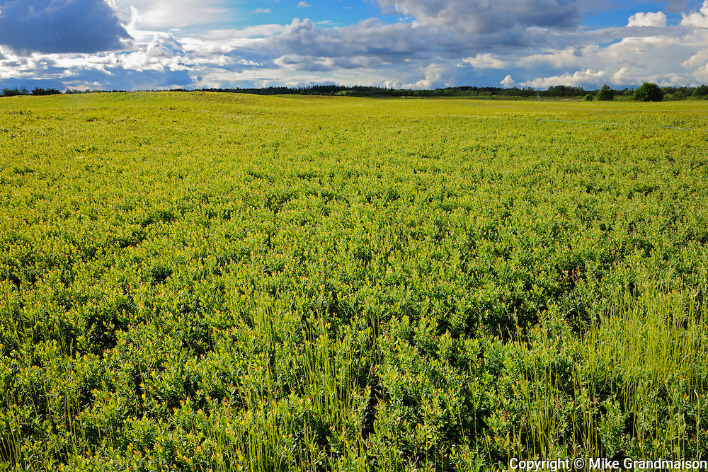 Field of cultivated blueberries (blueberry farm)<br /> Dolbeau-Mistassini<br /> Quebec<br /> Canada
