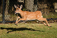 Middletown, New York - A young white-tailed deer runs along a fence at Presidential Park Elementary School on Sept. 7,  2017.