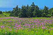 Fireweed (Epilobium sp.) wildflowers and spruce trees<br />