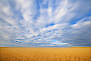 Wheat crop and clouds<br />