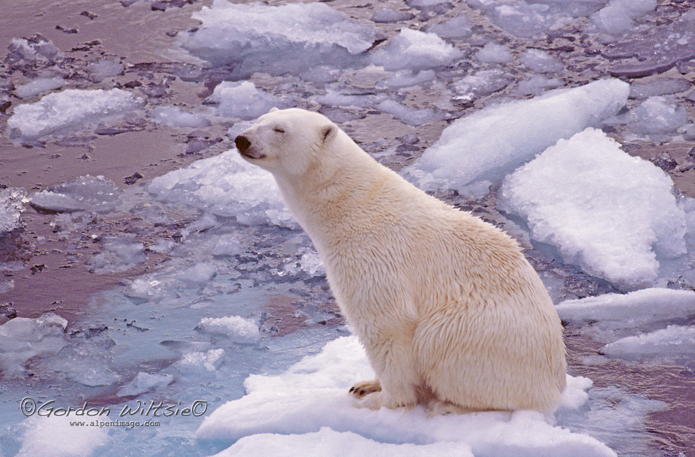 A Polar Bear drifts on ever-shrinking ice cause by global warming.