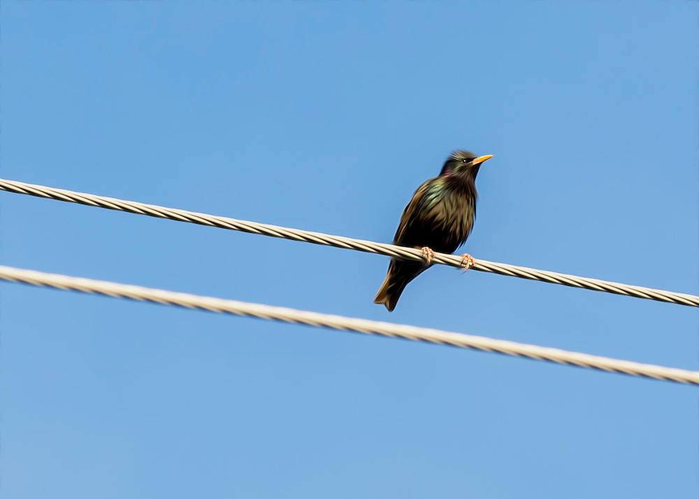 A Starling Against Blue Skies On A Wire
