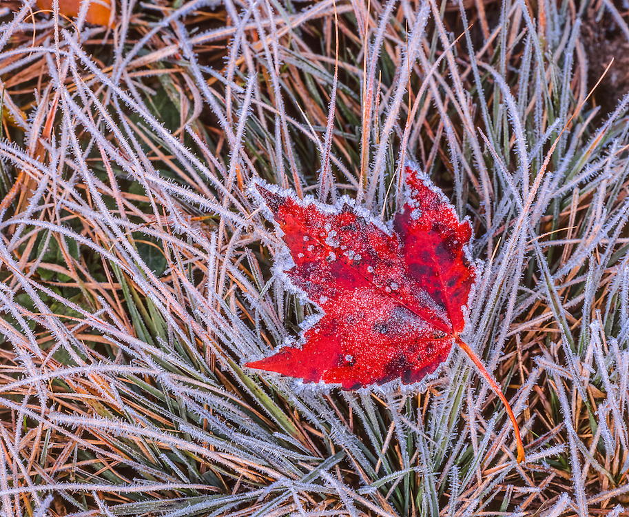 Frost covered red maple leaf & grasses, delicate designs, detail shot, Montgomery, VT