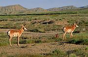Pronghorn antelope (Antilocapra americana) move across the desert terrain near Rangely, Colorado.
