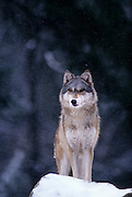 A grey wolf (Canis lupus) photographed in Washington State. Captive.