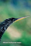 00680-00416 Anhinga (Anhinga anhinga) close-up of bill, Everglades NP, FL