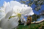 Drone fly (Eristalis spec.) | Bienenschwebfliege (Eristalis spec.) auf Kirschbaumblüte. Warnau, Deutschland