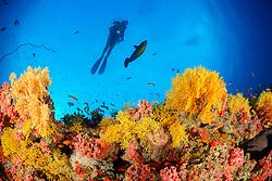 Acabaria sp.,  Korallenriff mit Gelbe Netzfaecher und Taucher, Coral reef with Yellow fan coral and scuba diver, Malediven, Indischer Ozean, Baa Atoll, Maldives, Indian Ocean