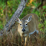 Key Deer (Odocoileus virginianus clavium) portrait of doe in Key Deer National Park in Florida. (Endangered Species)