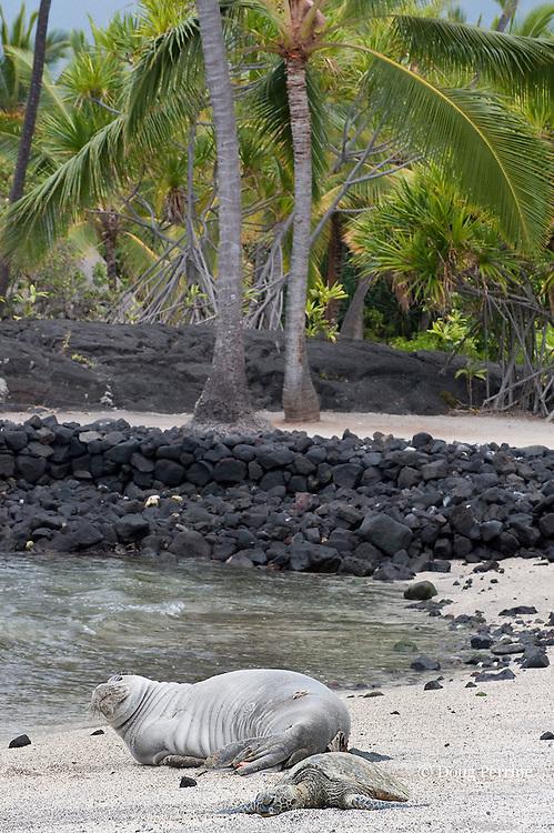 Hawaiian monk seal, Monachus schauinslandi ( Critically Endangered ), 2.5 year old male checks out a small green sea turtle, Chelonia mydas, basking on the beach with it at Pu'uhonua o Honaunau ( City of Refuge ) National Historical Park, Kona, Hawaii ( the Big Island )