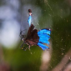 """""""Aranha predando borboleta (Predação) fotografado em Cariacica, Espírito Santo -  Sudeste do Brasil. Bioma Mata Atlântica. Registro feito em 2012.<br /> <br /> <br /> <br /> ENGLISH: Spider preying butterfly photographed in the city of Cariacica, Espírito Santo - Southeast of Brazil. Atlantic Forest Biome. Picture made in 2012."""""""