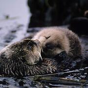 Sea Otter (Enhydra lutris) mother grooming it's baby.  Adak Island, Aleutians, Alaska.