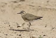 Caspian Plover - Charadrius asiaticus - female