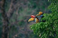 Male and female male Knobbed Hornbills (Aceros cassidix) in a tree..Tangkoko Batuangus/Dua Saudara Nature Reserve, Sulawesi Island, Indonesia.