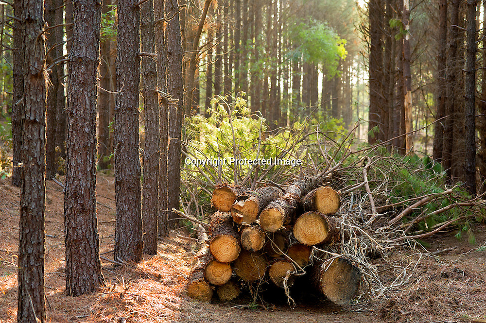 Cut trees from a pine forest that is being thinned in Arkansas