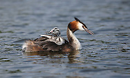 Great Crested Grebe - Podiceps cristatus - adult with chick. L 46-51cm. Graceful waterbird with slender neck and dagger-like bill. White wing panels revealed in flight. Dives frequently. Sexes are similar. Adult in summer has grey-brown upperparts and mainly whitish underparts; head has black cap and crest, and orange-buff ruff bordering paler cheeks. Bill is pink and eye is red. In winter, has drab grey-brown and white plumage. Juvenile recalls winter adult but has dark stripes on cheeks. Voice Utters wails and croaks in breeding season. Status Locally common breeding species on lakes and reservoirs. Widespread in winter, when also found in inshore seas.