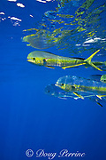 dorado, mahi-mahi, mahimahi, mahi mahi, or dolphin fish, Coryphaena hippurus, swimming near a floating bucket, off Kaiwi Point, Kona, Hawaii Island ( the Big Island ), U.S.A. ( Central Pacific Ocean )
