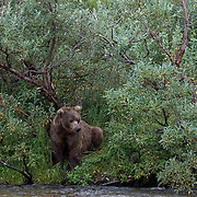 An Alaskan brown bear mother sits along the riverbank watching for salmon passing in the river. Her fishing strategy is to hide in the willows and then pounce on salmon from the shore. Her three young cubs are sleeping behind her in the willows.
