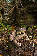 Cane Toad (Rhinella marina)<br /> Yasuni National Park, Amazon Rainforest<br /> ECUADOR. South America<br /> HABITAT & RANGE: Tropical & semi-arid environments. Native to Southern USA, Central & South America.