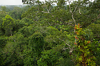 Amazon rain forest canopy view with flowering Bromeliad epiphytes growing on a branch of a giant Ceiba tree.<br />