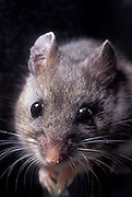 Portrait of a deer mouse (Peromyscus maniculatus), this wild mouse was held temporarily captive. Forest Park, Oregon.