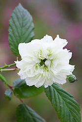 Rubus rosifolius 'Coronarius'. Roseleaf raspberry