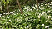 Wild garlic, (allium ursinum) grows along a path in Varenna, Italy.