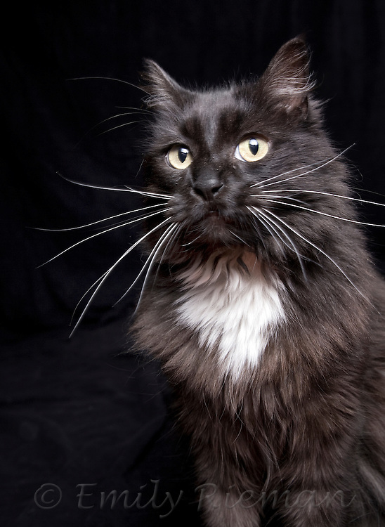 Longhaired black and white cat