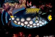 Clown Triggerfish, Balistoides conspicillum.