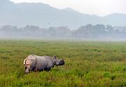 Indian rhinoceros (Rhinoceros unicornis) in Kaziranga National Park, Assam, India.