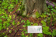 Interpretive sign (Western Red Cedar) on the Trail of the Cedars, Glacier National Park, Montana USA