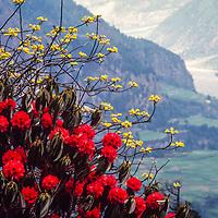 Rhododendrons bloom above the Kali Gandaki Valley, Nepal.