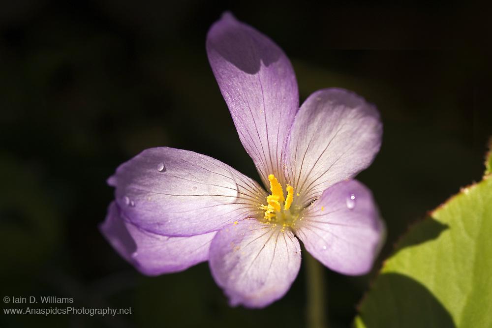 Purple Crocus - Tasmania