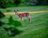 Alpha fawn -- I didn't do anything wrong Really!. Image taken with a Fuji X-T3 camera and 200 mm f/2 lens