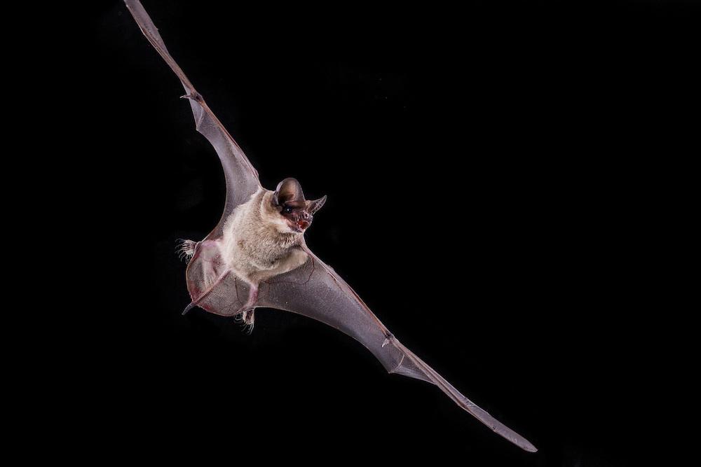 Mexican Free-Tailed Bat portrait. (Tadarida brasiliensis)