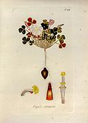 Woodsorrel (Oxalis strumosa). Illustration from 'Oxalis Monographia iconibus illustrata' by Nikolaus Joseph Jacquin (1797-1798). published 1794