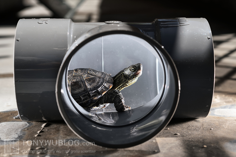 This is a juvenile 9.5cm Chinese pond turtle (Mauremys reevesii) playing in a plumbing joint. This species is semiaquatic in the wild, found in marshes, ponds, streams and similar bodies of shallow water. It is listed as Endangered on the IUCN Red List, threatened by several causes, including competition from introduced species, loss of habitat, and use in Chinese medicine. This species is also popular in the global pet trade. This individual was found on a road in Japan, far from water, when it was only 2.8cm, perhaps picked up and transported by a crow shortly after birth. Though the species had earlier been considered native to Japan, genetic testing in recent years suggests multiple introductions from outside Japan.
