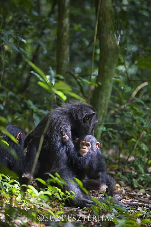 Chimpanzee<br /> Pan troglodytes<br /> Mother and three month old infant resting on forest floor<br /> Tropical forest, Western Uganda